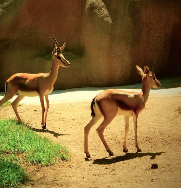 Two young antelopes on a background of sand cliff