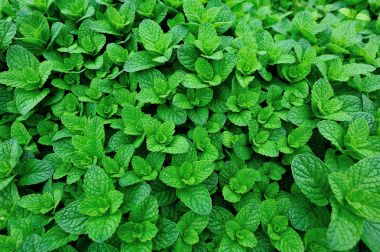 green mint growing in garden