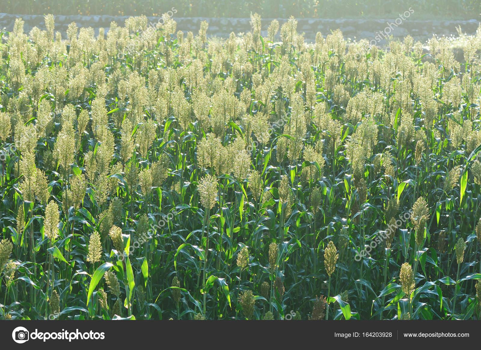 ソルガムの作物ファーム — スト...