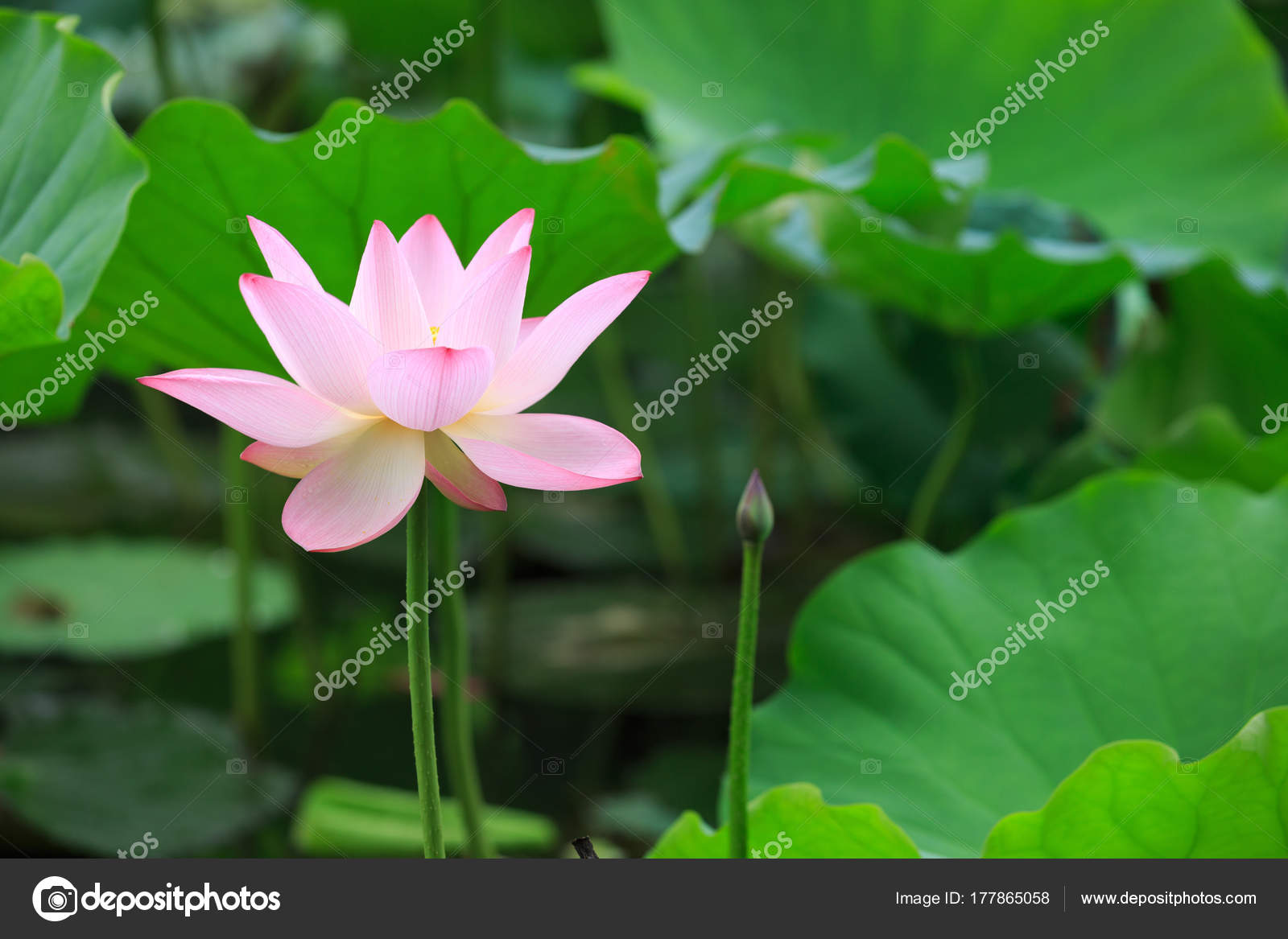 Beautiful pink lotus flower blooming pond stock photo lzf 177865058 beautiful pink lotus flower blooming in pond photo by lzf izmirmasajfo