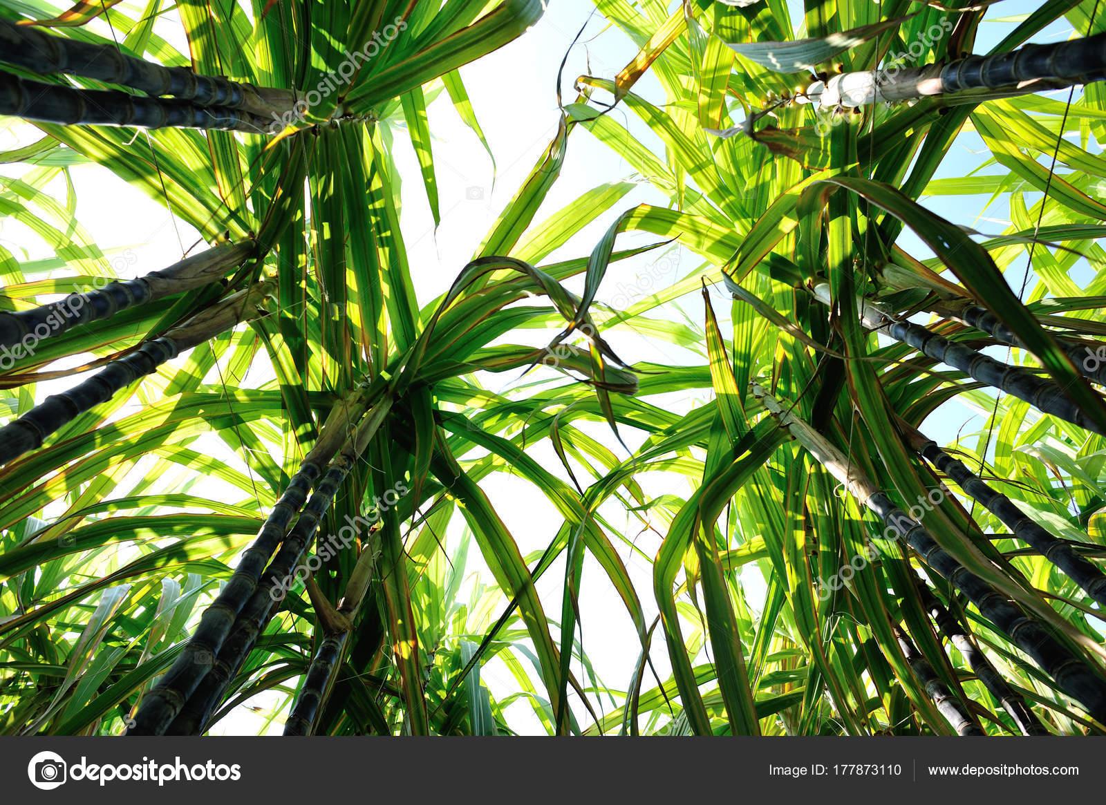 Plantas Caña Azúcar Crece Campo