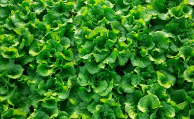 rows of green butterhead lettuce cultivating at greenhouse