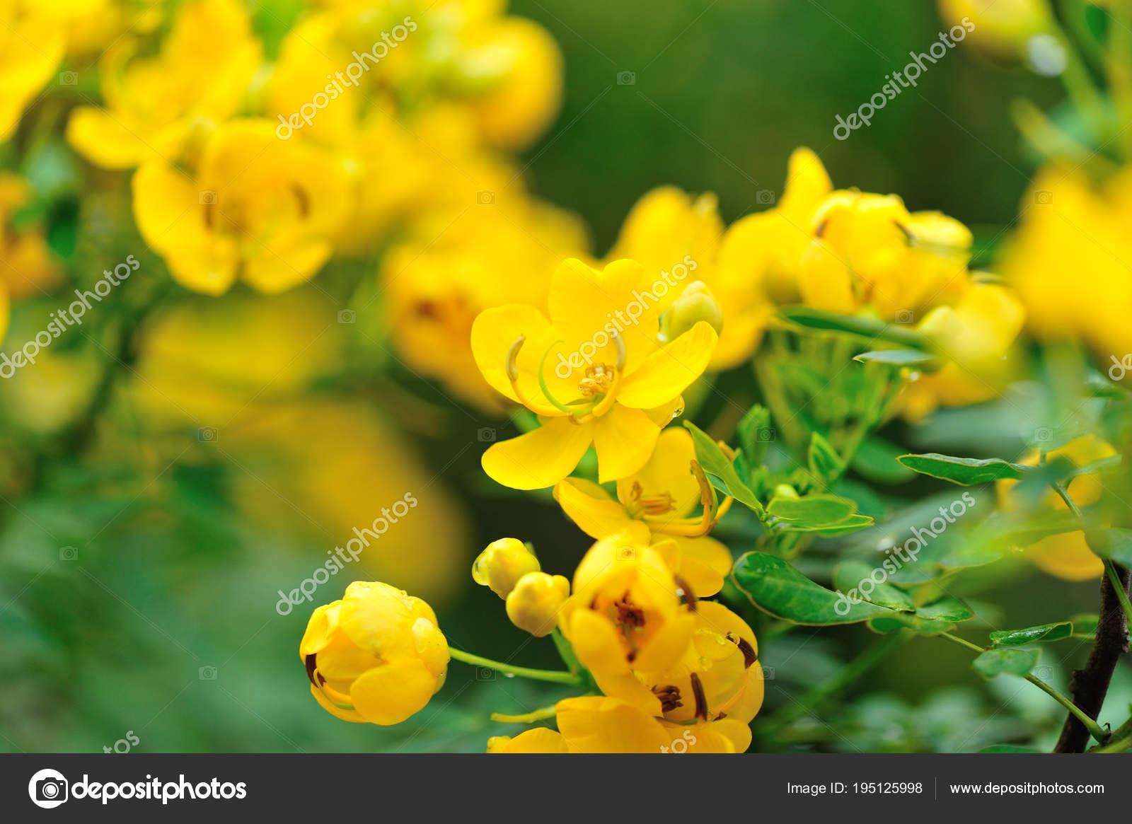 Cassia Surattensis Blumen Fruhjahr Stockfoto C Lzf 195125998