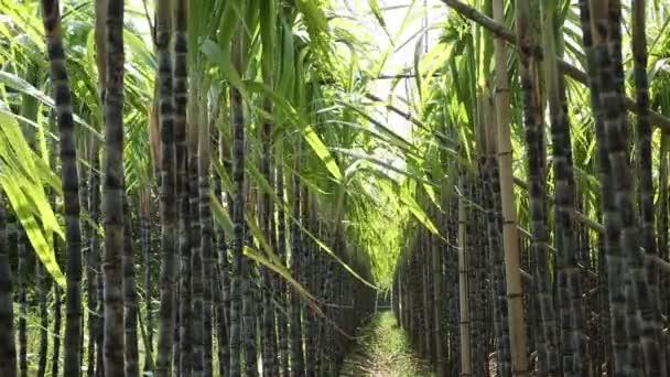Cukornádnövények termesztése Kínában vidéki területeken