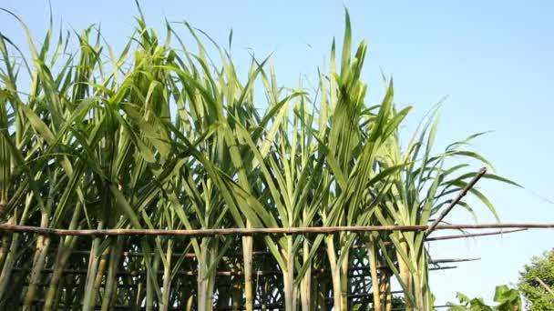 Zöld cukornád növények nő a területen a napsütésben