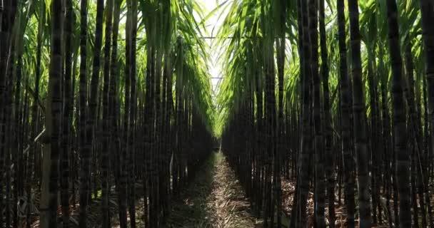 Zelené rostliny cukrové třtiny rostoucí na poli v jasném slunečním světle