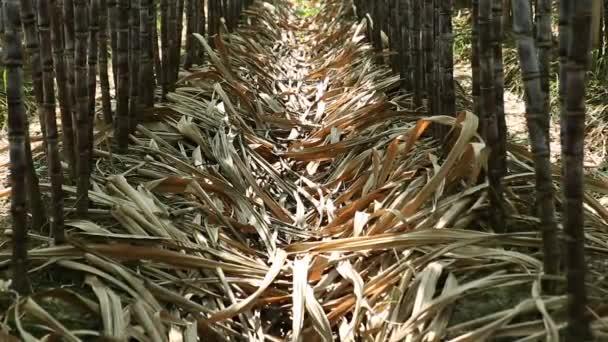 A Kínában termesztett cukornádnövények száraz levelei
