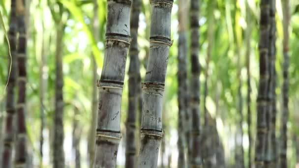 A Kínában termesztett cukornádnövények szárainak közelképe