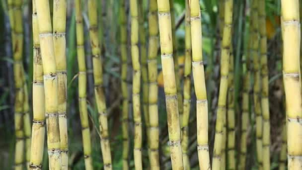 Close-up of stalks of sugarcane plants growing at field in China