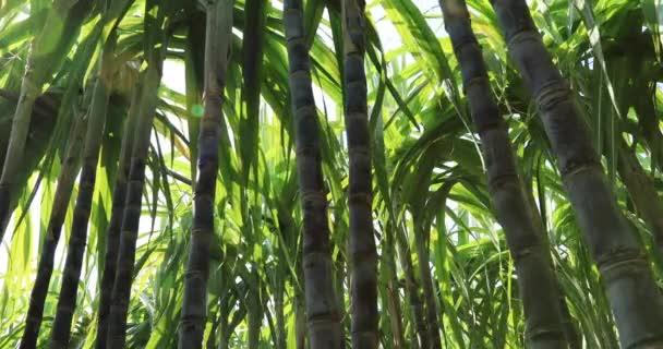 Detailní záběr na stébla cukrové třtiny rostoucí na poli v Číně