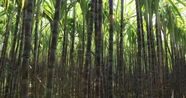 Zelené rostliny cukrové třtiny rostoucí na poli v Číně