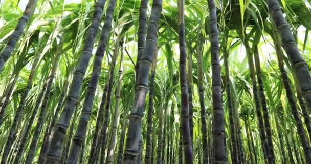 Green sugarcane plants growing at field in China