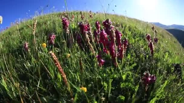 Alpine field flowers growing in high altitude mountains, time-lapse footage