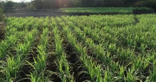 Nagy látószögű kilátás a zöld ültetvény cukornád Kínában