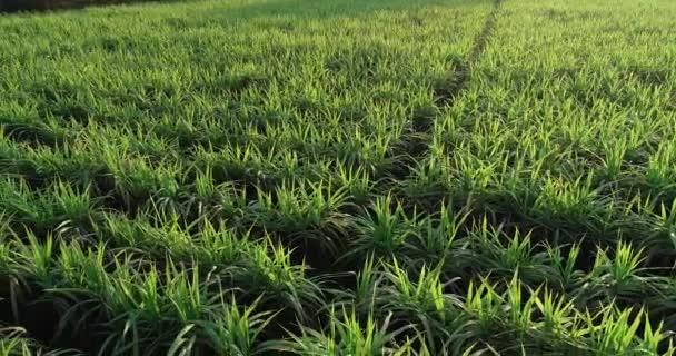 Nagy látószögű kilátás a mezőgazdasági területen termesztett zöld cukornád növényekre