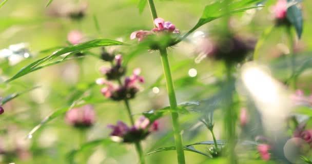 Common motherwort herbs flowering in rural field in China