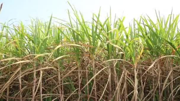 Vidéki területen termesztett cukornádnövények