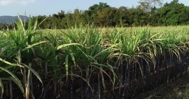 Nagylátószögű kilátás a vidéki területen termesztett cukornádnövények ültetvényére