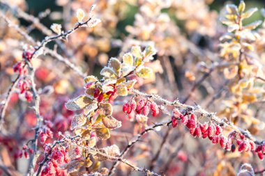 Barberry bush branch with small fruits, winter in garden. Background in frost needles. Morning frost. Rime. Late fall