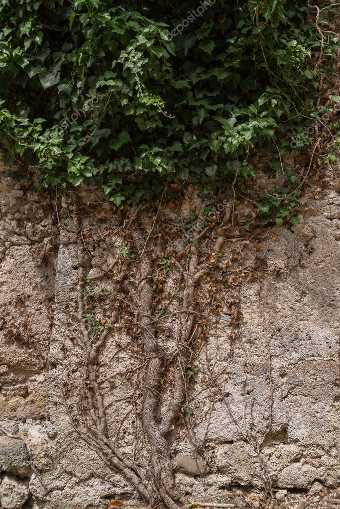 Ivy grows on stone wall