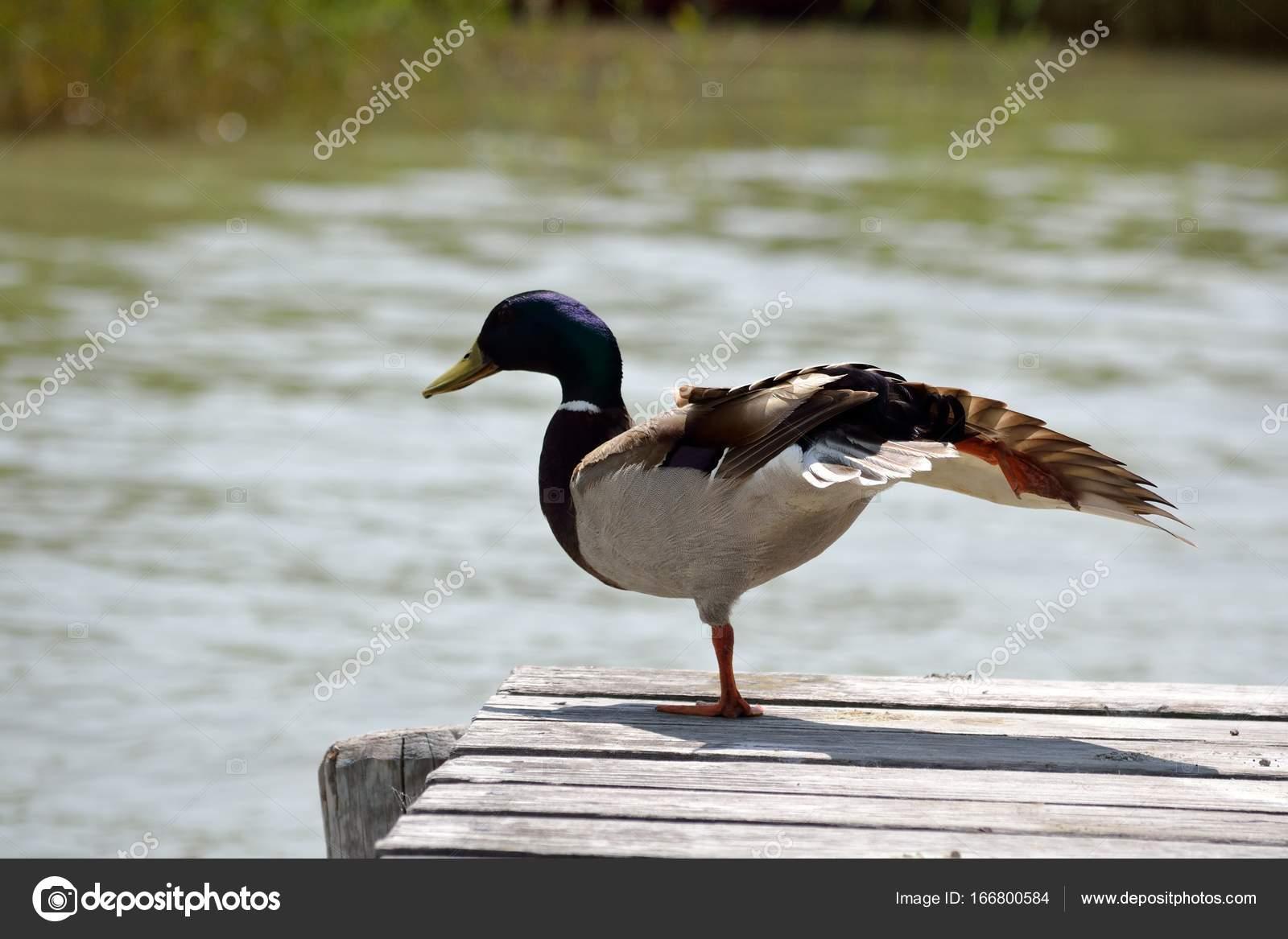 pato macho extiende las alas — Foto de stock © alho007 #166800584