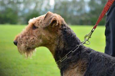 Dog on a leash - portrait