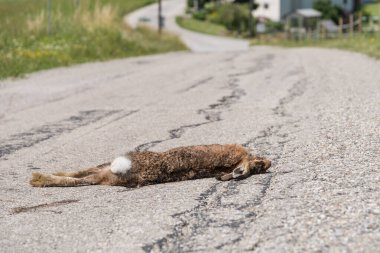 Game accident due to collision - rabbit lies dead on the street