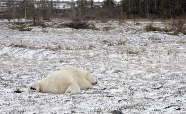 Polar bears in Churchill, Manitoba, Canada awaiting the return of sea ice. Climate change.