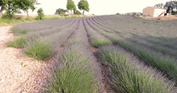 Field of lavender in France, Lavender stalks in the foreground, Valensole, Cote Dazur-Alps-Provence, a lot of flowers, rows of flowers, perspective, trees and shed on background