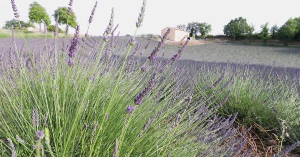 Pole levandule ve Francii, Levandulové stonky v popředí, Valensole, Pobřeží slonoviny-Alpy-Provence, spousta květin, řady květin, perspektiva, stromy a kůlna na pozadí