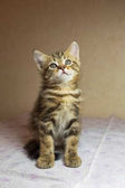 Krásné kotě načervenalé. Sobě zázvorové britské kotě.