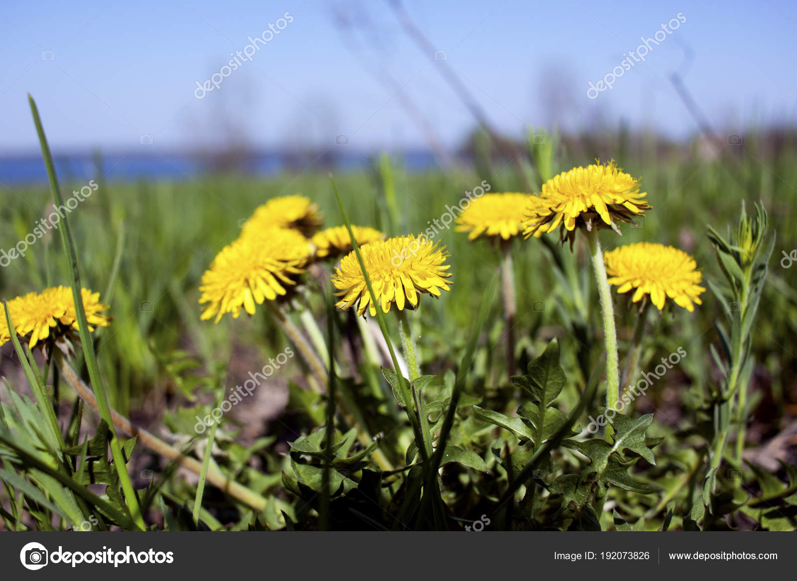 Dandelion flower spring background, spring flowers blooming — Photo by ...
