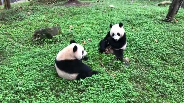 Two pandas are captured sitting across each other eating bamboos as if competing eating at Chengdu Panda Breeding Research Center Dujiangyan Breeding Yefang Research Center in Chengdu city, southwest Chinas Sichuan province, 23 September 2019.