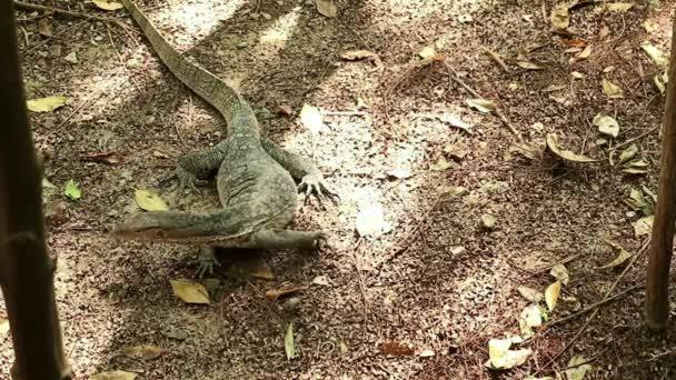 Asijské vody monitor ještěrka cestovní Les