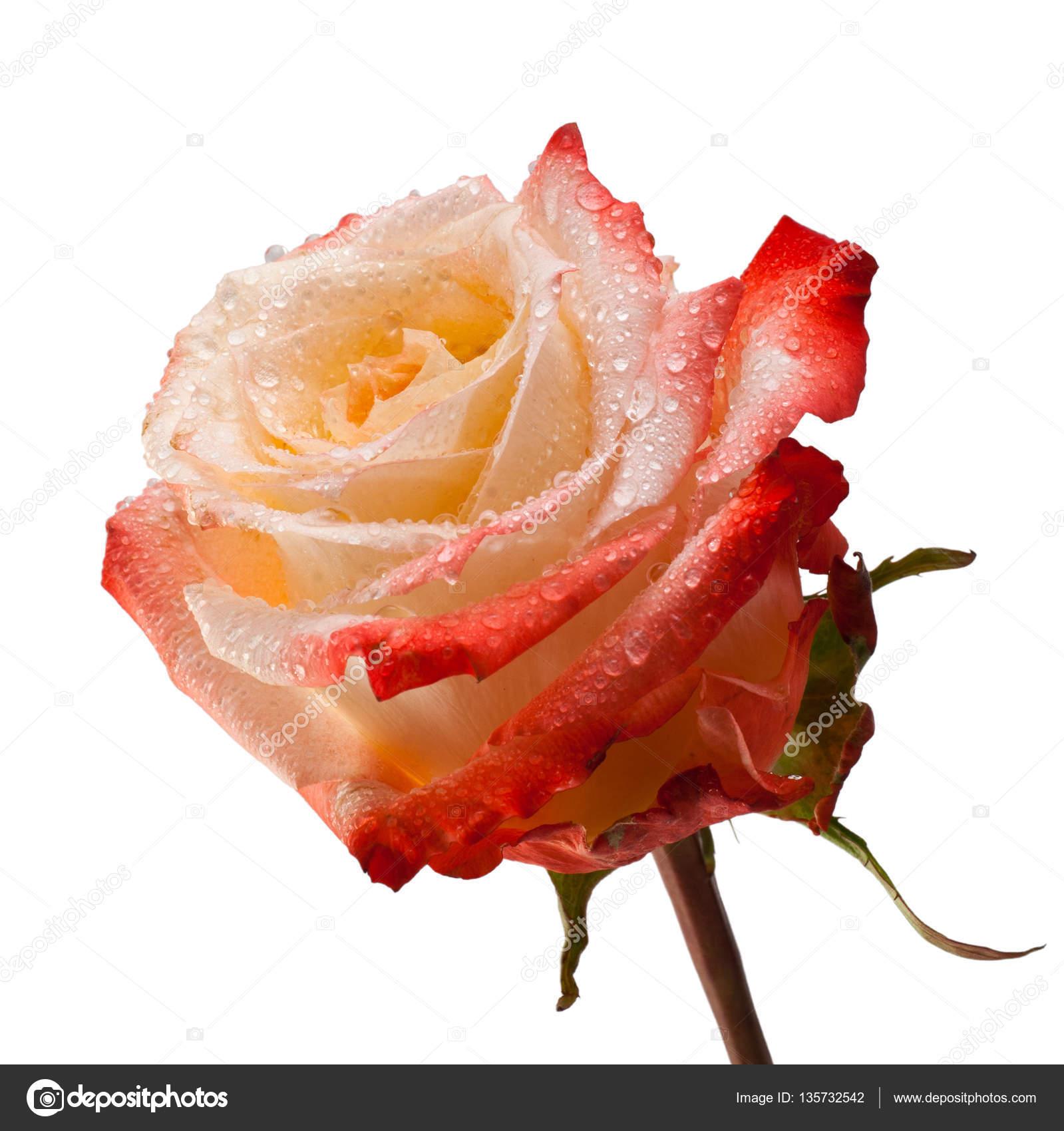 Rosa rosa primi piani isolato su sfondo bianco. Fiore di rosa di ...