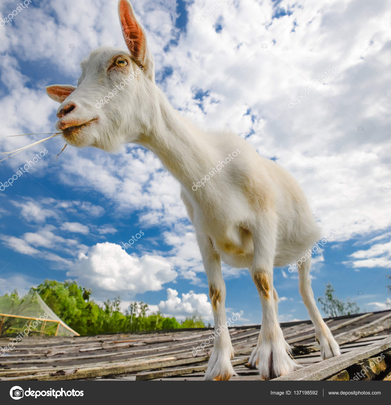 Funny Goat Standing On Barn Roof Country Farm Cute And White Young A Background Of Blue Sky Photo By Esvetleishaya