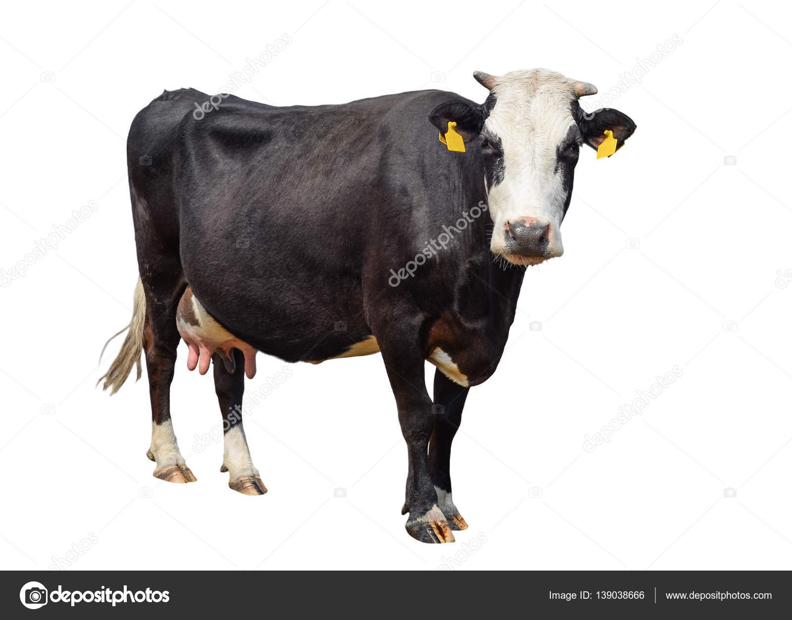 funny cute cow isolated on white black and white cow looking at