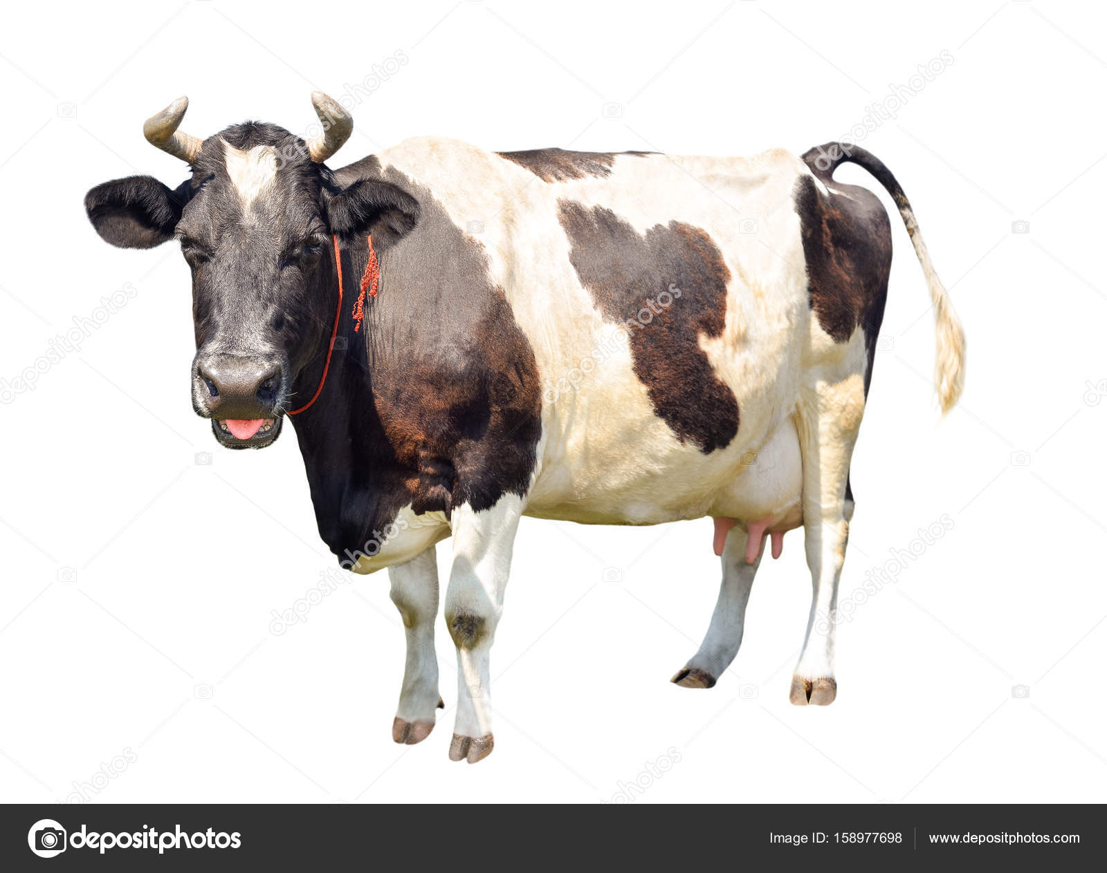 black and white cow with funny pink tongue out isolated on white