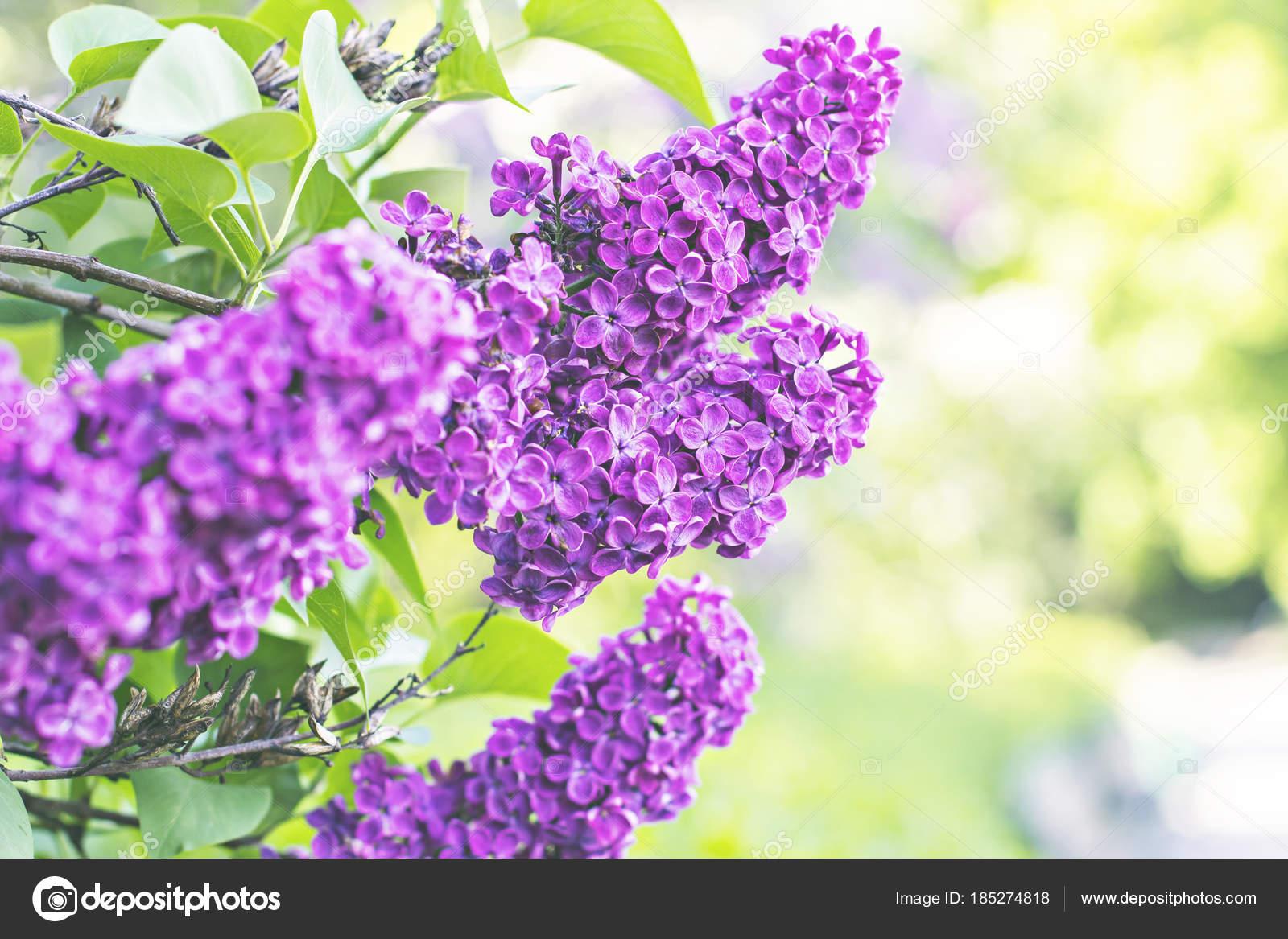 Albero Di Lillà fiori di lilla albero in primavera — foto stock