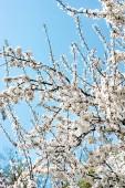 Un albero sbocciante è una prugna. Albero di fioritura
