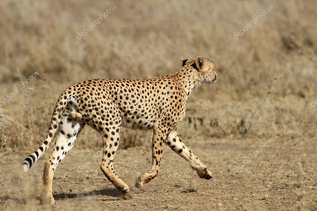 The cheetah running on the savanna