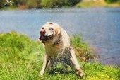 Photo Dog shaking off water