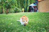 Zázvor kočka chytit ptáka
