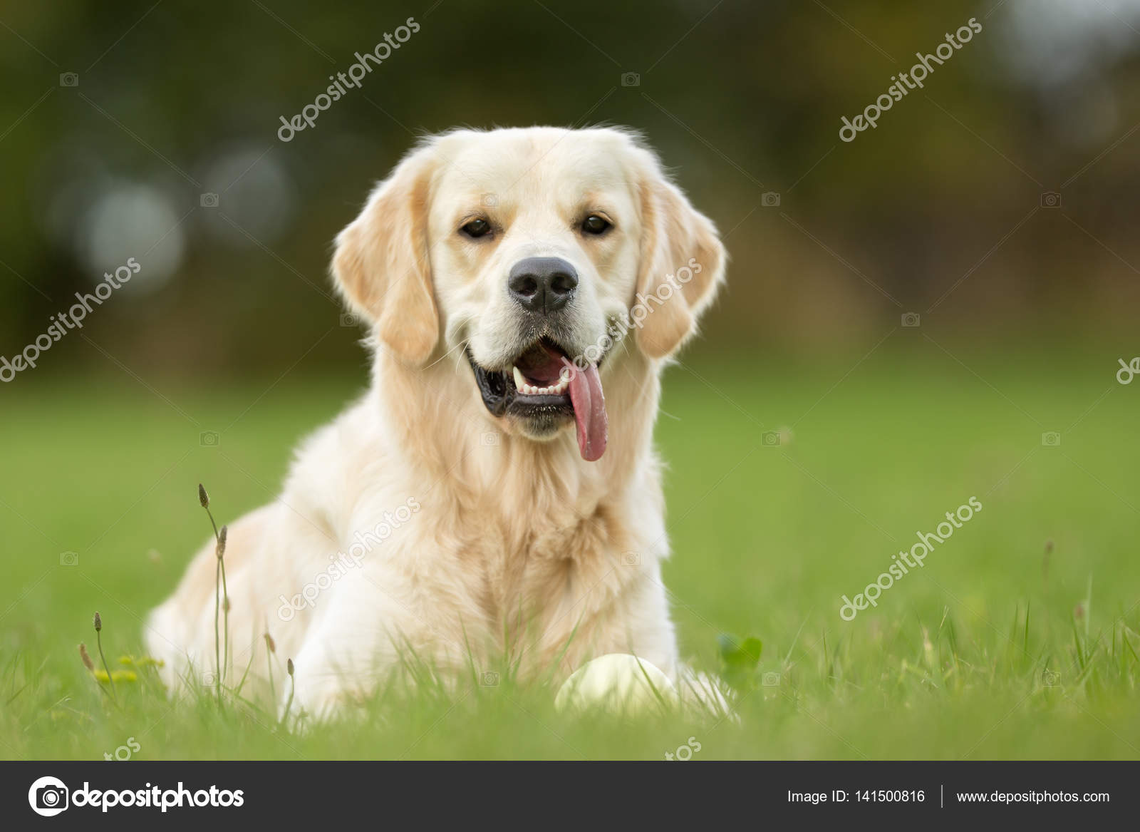 Gülümseyen Beyaz Golden Retriever Köpek Stok Foto Bigandt 141500816