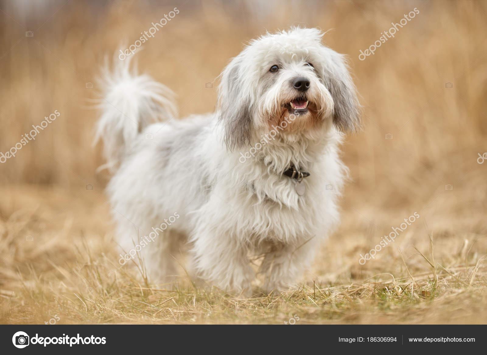 coton de tulear dog stock photo bigandt 186306994