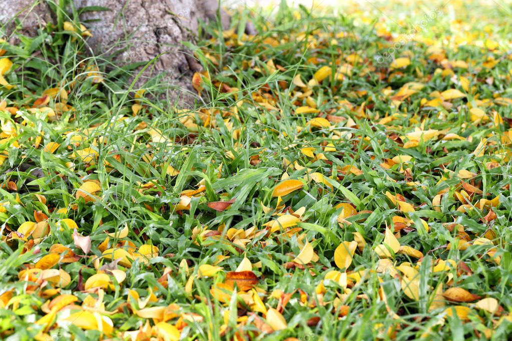 Fresh green grass in public park with dry leaf.