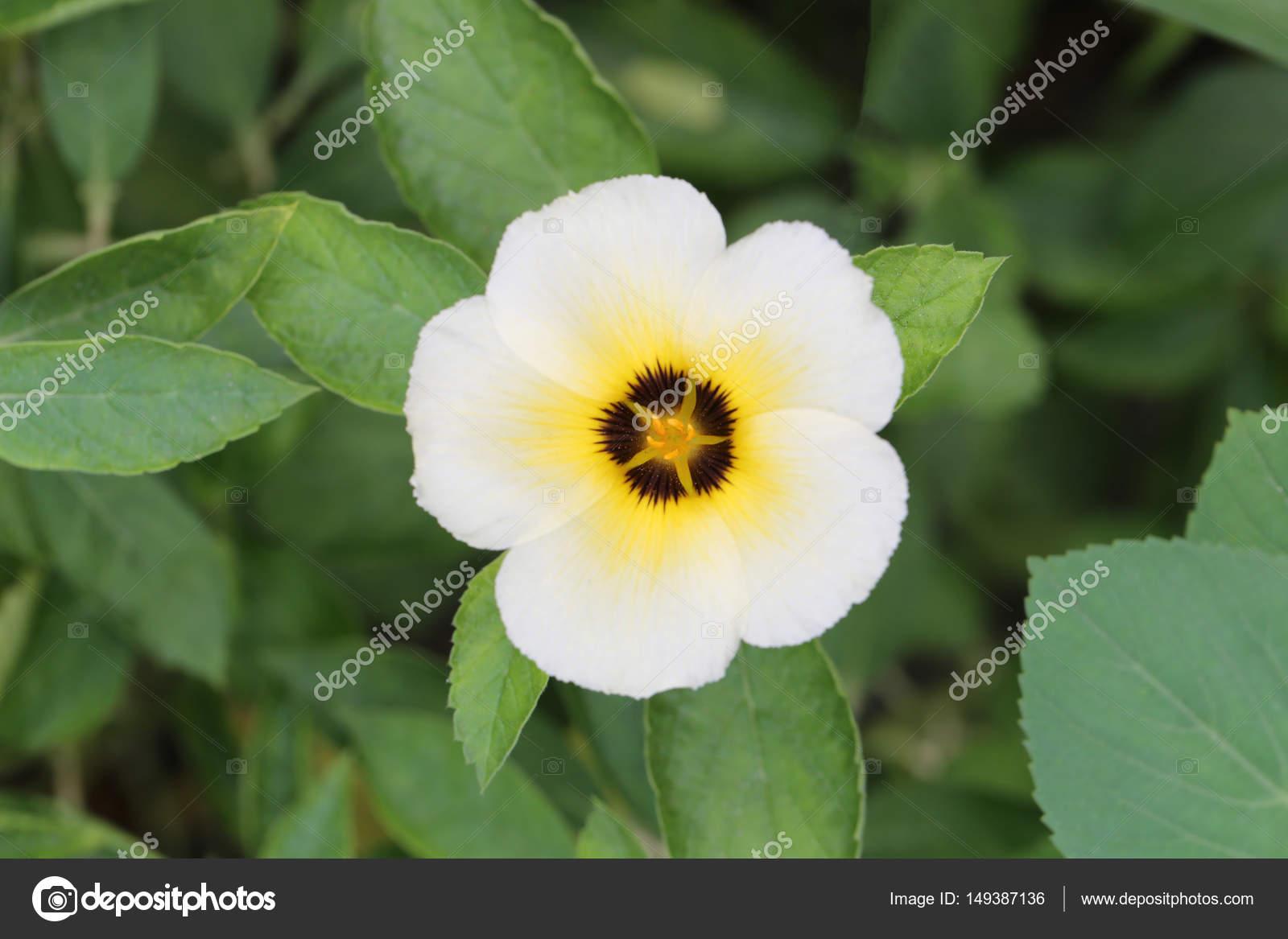 Turnera Subulata Or White Sage Rose Flower Stock Photo
