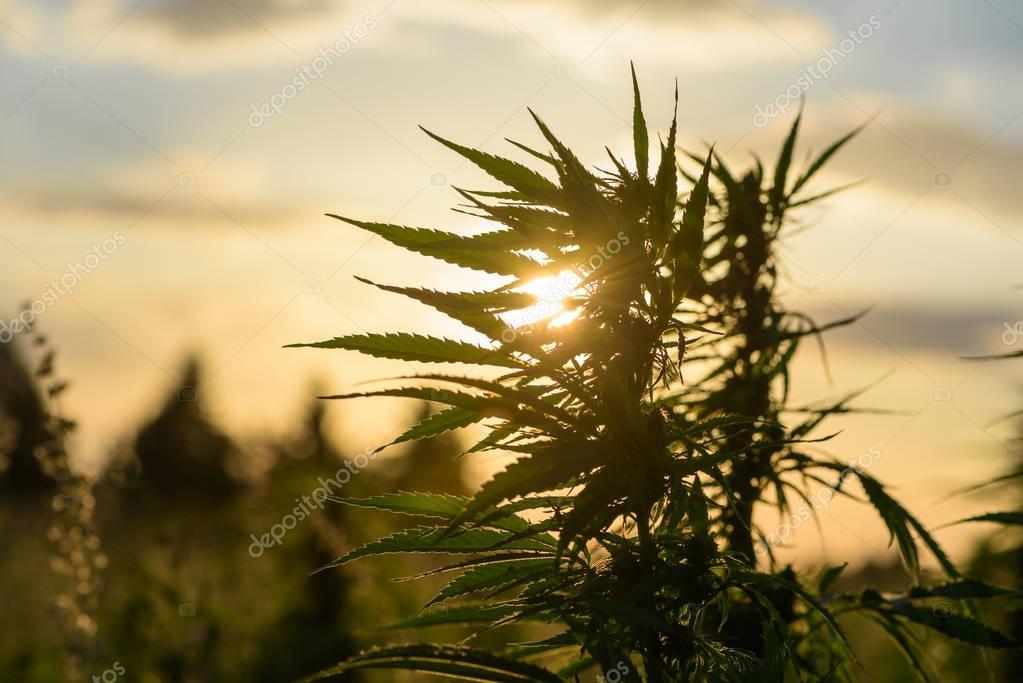 Leaves of marijuana