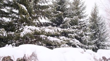 Spruce and pine tree branches covered with snow. Winter day in snowy fir tree forest, Christmas season and new year