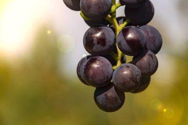 dark grapes close up Isabella twig